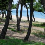 A picture of pine trees and a beach on the east coast of South Korea.