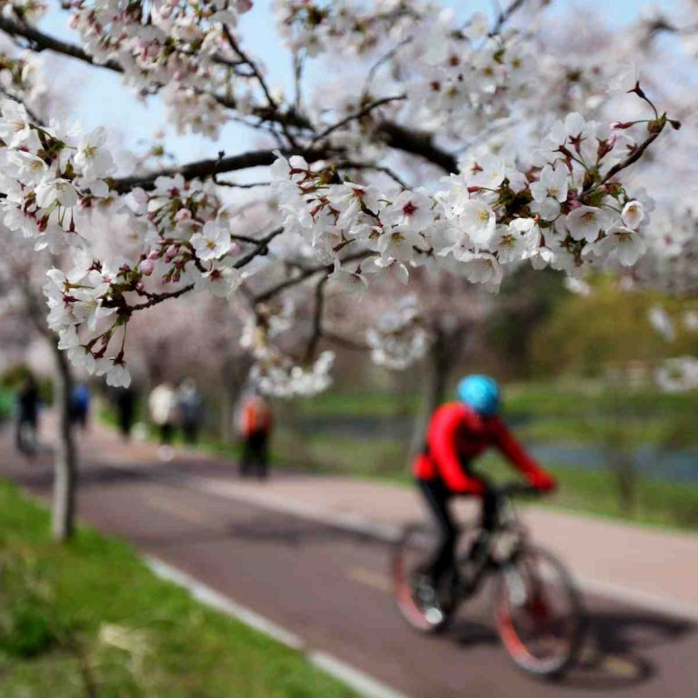 Cherry blossoms on the Taehwa River (태화강) bike path in Ulsan.