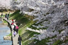 Springtime cherry blossom in full bloom in South Korea.
