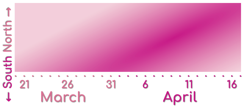 A graph showing when cherry blossoms emerge in South Korea.