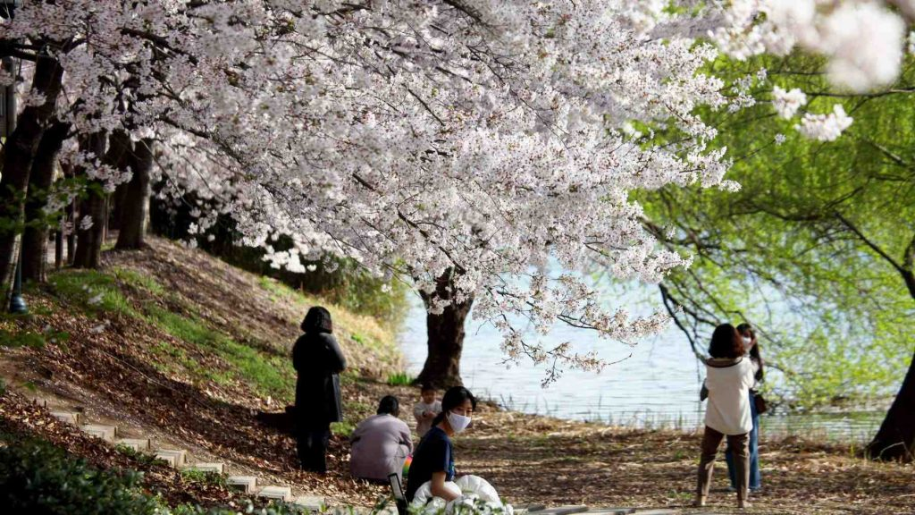 A picture of cherry blossoms hanging over sightseers in a park in Ulsan (울산).
