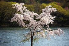 A picture of a single tree with cherry blossoms in South Korea.