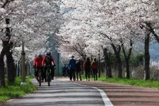 Bikers ride under cherry blossoms on the Taehwagang (태화강) bike path in Ulsan, (울산).