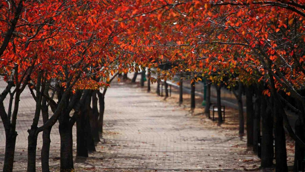 A canopy of red leaved trees in Korea during fall.