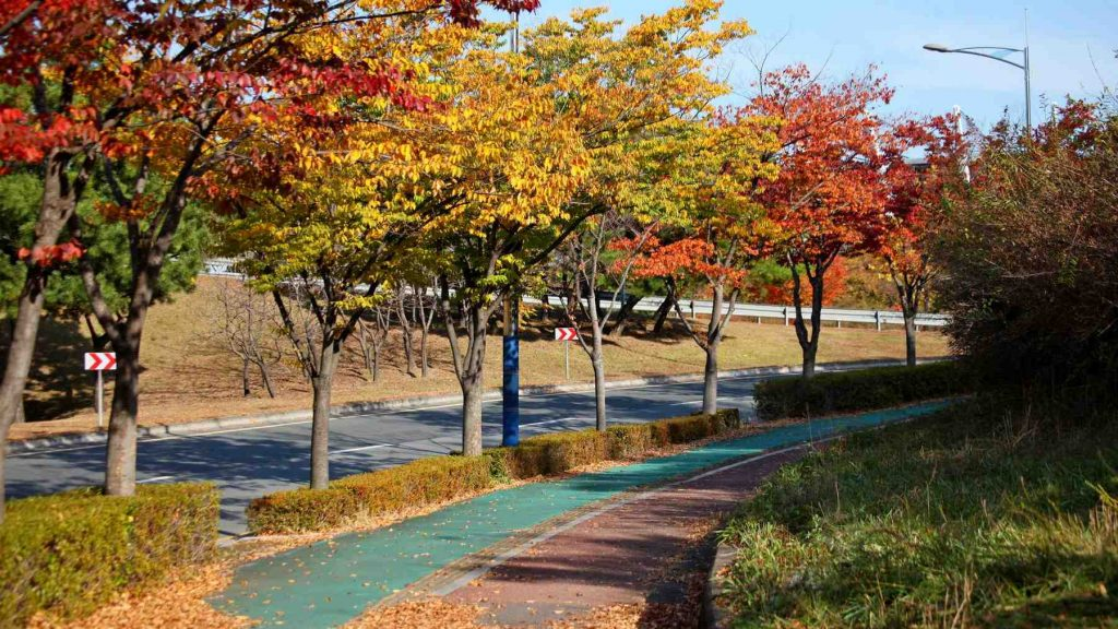 A picture of fall leaves on trees next to a sidewalk and bike path in Korea.