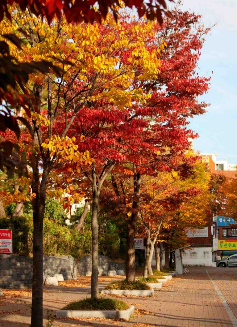 Colorful fall leaves in South Korea.