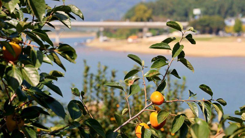 Seomjingang Bike Path - Gokseong Gwangyang - Mangos in Gwangyang near Sandy Beach